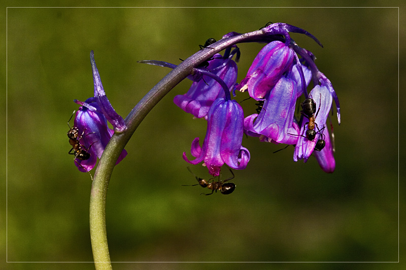 Bluebell changing colour