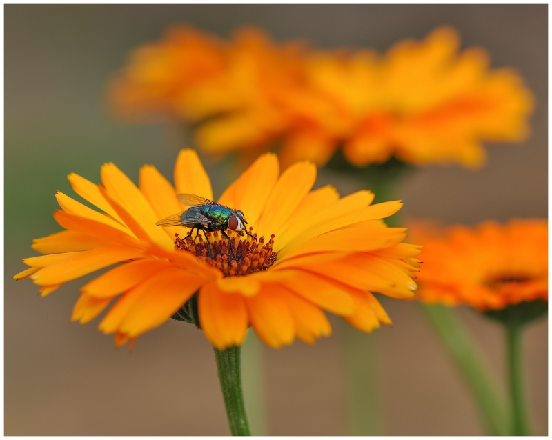 *Calendula officinalis*