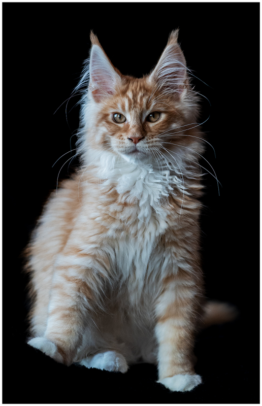 Maine-Coon Kitten