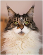 Maine-coon 2