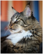 Maine-coon 3
