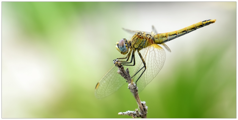 *Sympetrum fonscolombii*